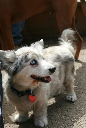 16 собак, скрещенных с корги, которые наполовину пушистые буханки, а наполовину что-то другое