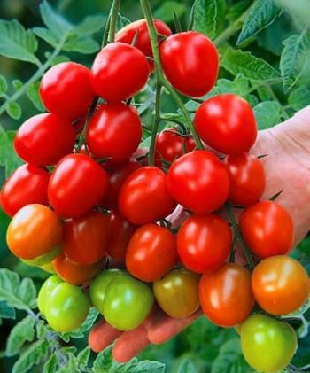 Описание гибрида томатов Черри Ира с отзывами садоводов