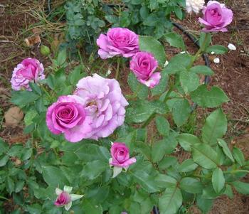 Роза чайно-гибридная Голубой Нил: описание, фото