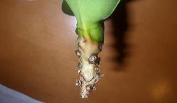Орхидея Фаленопсис: как реанимировать цветок, если погибли корни