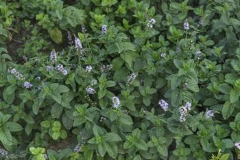 Мята перечная: выращивание и уход