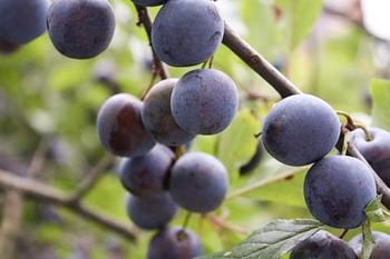 Тульская чёрная: выращиваем в саду отличные сливы