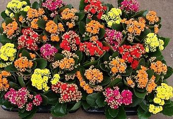 Каланхоэ цветущий – лучшее украшение подоконника
