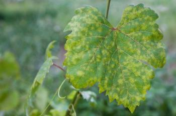 Топ-5 самых опасных болезней винограда