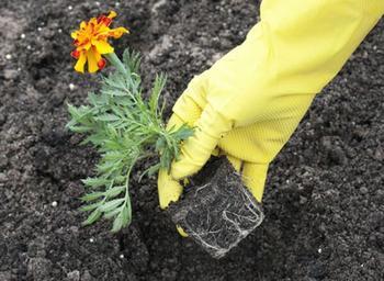 Выращивание бархатцев в открытом грунте