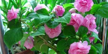 Как ухаживать за цветком Бальзамин - посадка, освещение, полив и лечение болезней