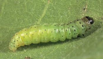 Как победить прожорливых гусениц на своем участке