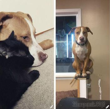 17 потешных собак, которые возомнили себя котами, переняв кошачьи повадки