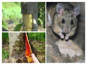 Что делать, если яблоню погрызли мыши, и как защитить деревья от грызунов зимой