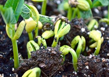 Очень важно знать когда сажать фасоль в открытый грунт в разных климатических зонах