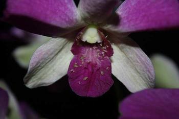 Как избавиться от белых жучков на орхидее