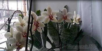 Орхидея Фаленопсис! Размножение с трудом, но получается...Результат виден!