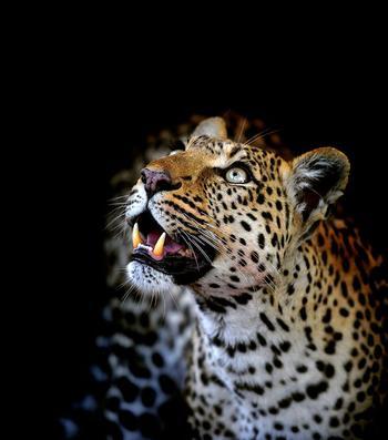 Леопарды из Ботсваны: фототур