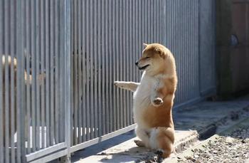 Причины влюбиться в собак шиба-ину окончательно и бесповоротно