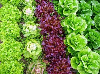 Все виды и лучшие сорта салатов для теплицы и открытого грунта