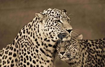Портреты тигров, львов и леопардов
