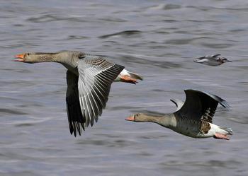 Разбираемся в тонкостях весенней охоты на гуся