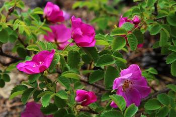 Шиповник – многолетнее цветущее декоративное кустарниковое ягодное растение