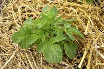 Особенности посадки картофеля под солому (сено): преимущества и недостатки