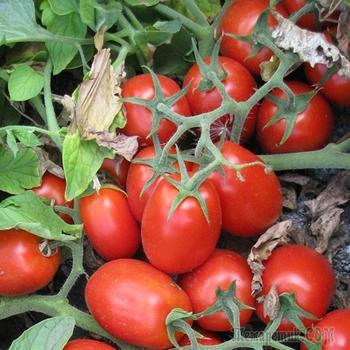 Пятна на семенах томата и перца – откуда появились, и что это такое