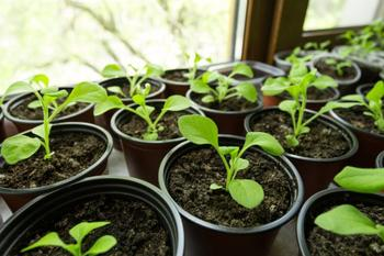 Какую рассаду проще купить, чем вырастить из семян
