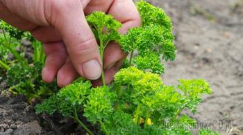 Выращивание петрушки через рассаду