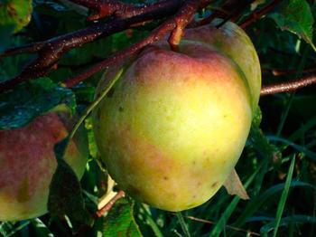 Обзор популярного сорта яблок Северный синап