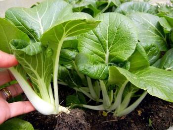 Капуста бок-чой: полезные свойства и особенности выращивания