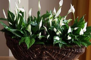 10 растений для идеального микроклимата в доме