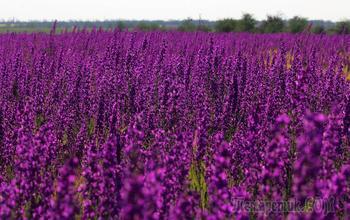 Фиолетово-красно-желтый Крым В погоне за маками-4