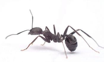 Не глупее обезьян: какими орудиями труда пользуются муравьи?