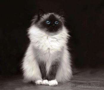 22 фотографии о пушистой кошачьей неотразимости