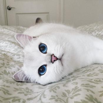 Голубоглазый Коби – самый красивый кот Инстаграма
