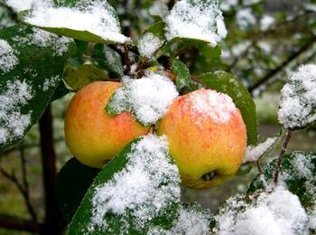 Как хранить яблоки зимой?