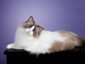 Гороскоп для любителей котов: какие породы подходят каждому знаку Зодиака