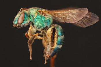 9 крутых макроснимков, которые раскрывают красоту пчёл