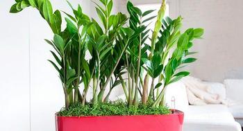 Замиокулькас: поверия, связанные с тропическим растением