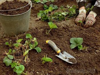 Как посадить клубнику в августе