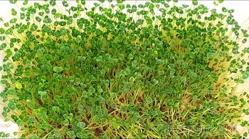 Проращивание семян Чиа в домашних условиях