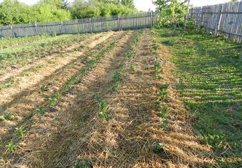 Как сажать картофель по траве, не вскапывая, не пропалывая