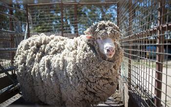 Своя ноша тоже тянет: В Австралии нашли овцу, которую 4 года никто не стриг