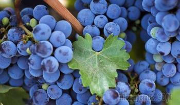 Виноград в Сибири, посадка и уход