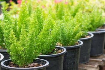 Комнатное растение аспарагус: фото, размножение и уход в домашних условиях