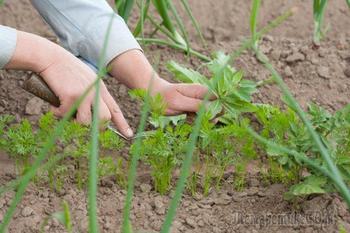 5 способов посеять морковь: проверенные методы от читателей
