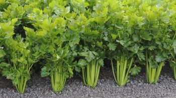 Как правильно выращивать корневой сельдерей из семян в домашних условиях