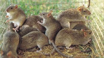Самая большая крыса в мире – претенденты на почетное звание