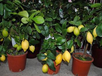 Чем лучше подкармливать лимон в домашних условиях