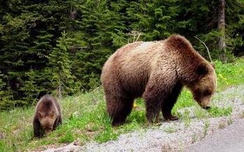 К чему снятся медведи с медвежатами женщине: опасные образы женских снов