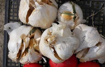Чеснок рокамболь – самый загадочный овощ из семейства луковых