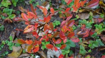 Краснеют листья у голубики садовой — причины, что делать